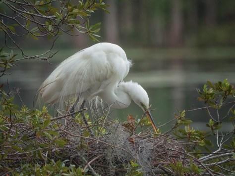 Egret, Tending The Nest