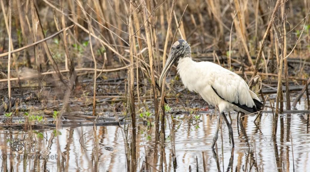 Wet, Cold, Wood Stork