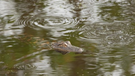 Some Days They Are Everywhere, Alligator