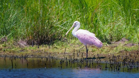 The Trail To Visit A Spoonbill