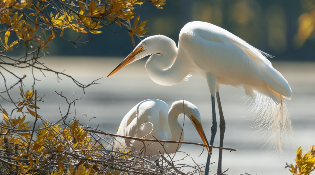 Afternoon Egrets