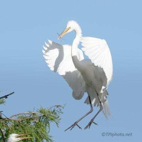 Great Egret Landing On The Nest