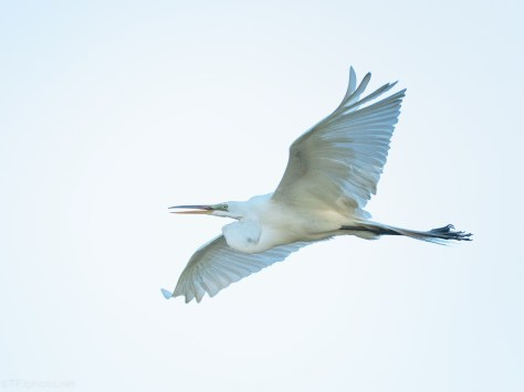 Great Sky For This Egret Flight