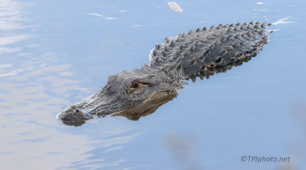 Slow Swim By, Alligator