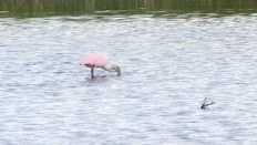 Sweeping The Water For Food, Roseate Spoonbill