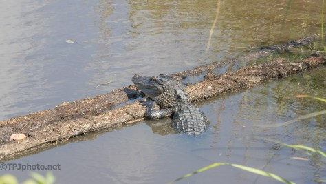 Almost Missed Him, Alligator