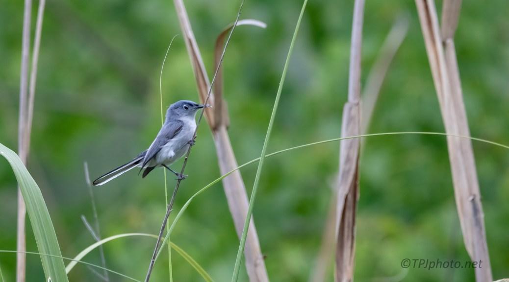 Blue-gray Gnat Catcher