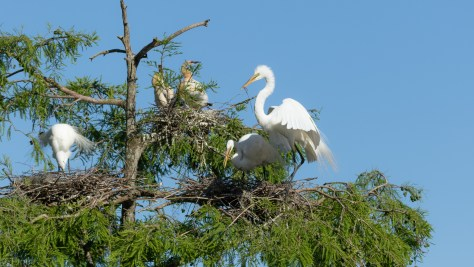 Embarrassment Of Riches, Great Egret