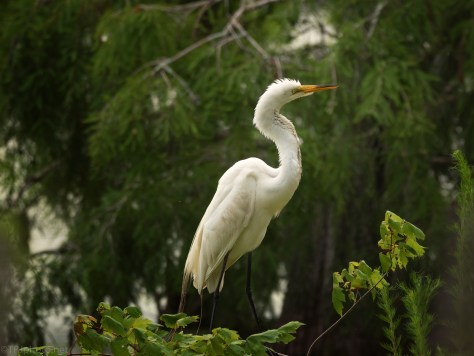 Great Egret Low In A Swamp