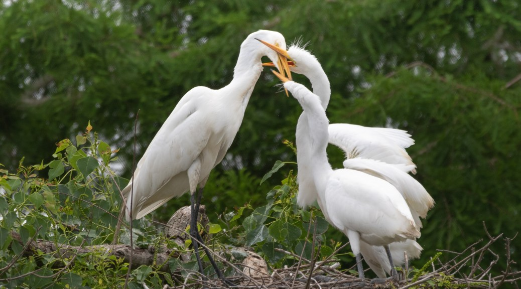 Eating Moms Head, Egret
