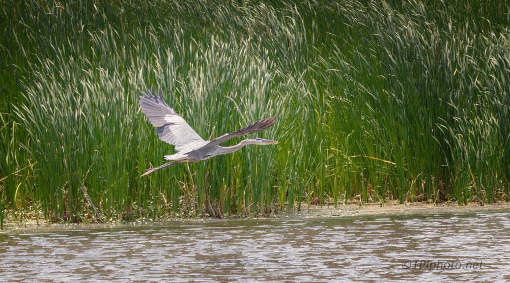 Great Blue Heron, A Rice Field