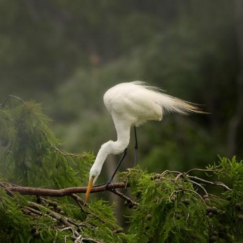 Egret In A Cypress