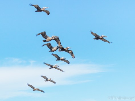 Pelican Flocks On The Move