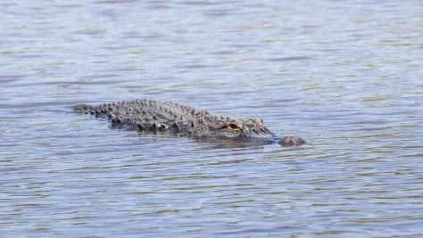 One Of Many, Alligator