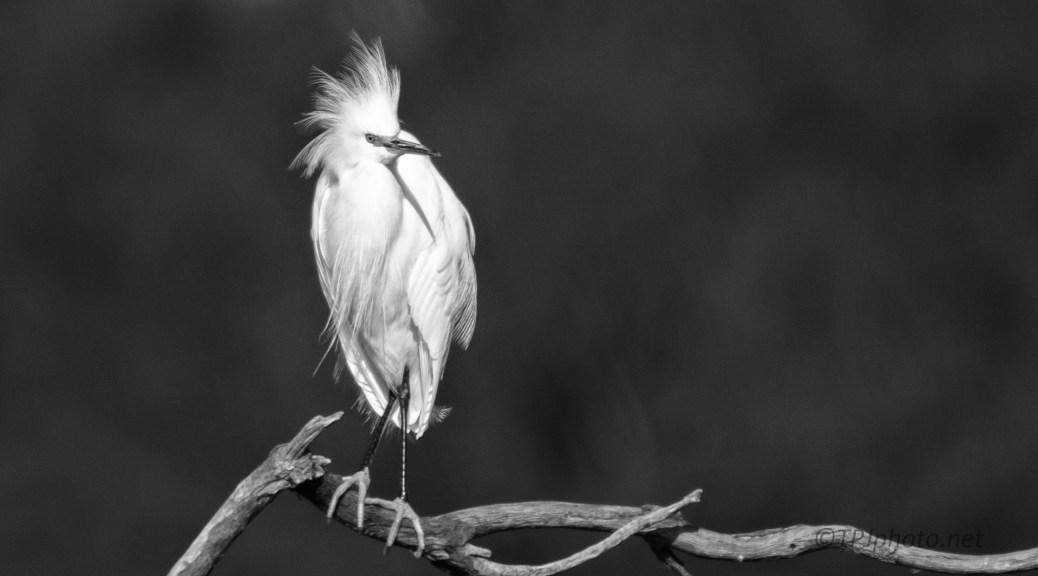 Snowy Egret, Black And White