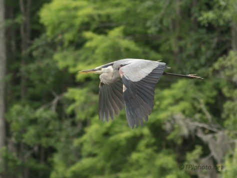 Star Of The Swamps, Great Blue Heron