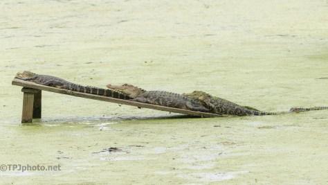 Not Enough Room, Alligator