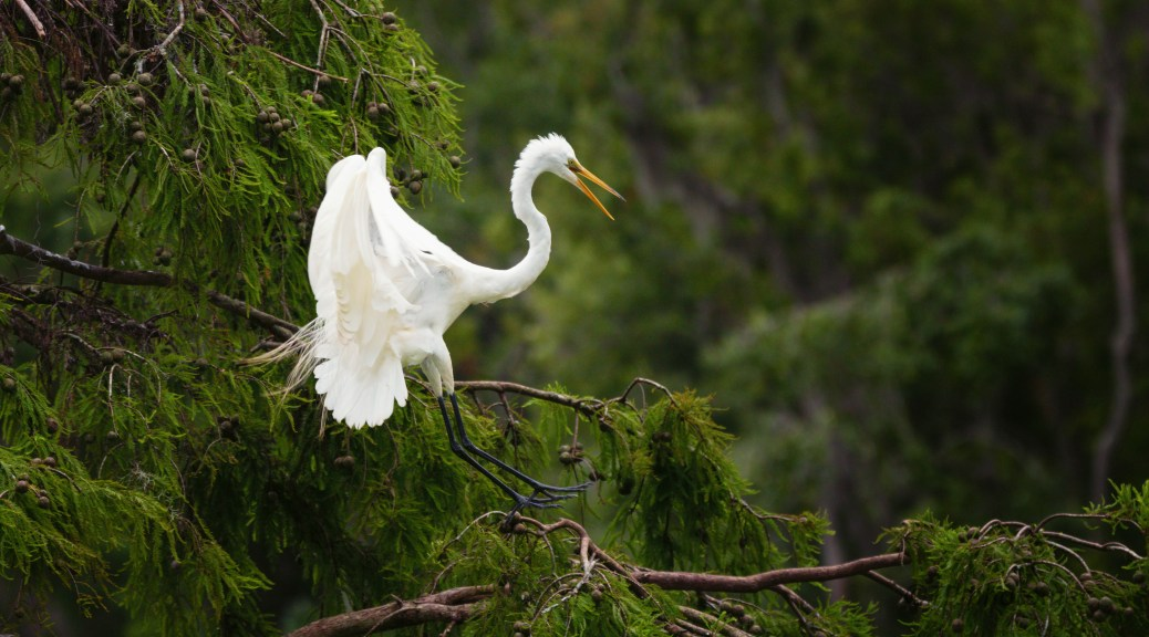 On A Cypress, Great Egret