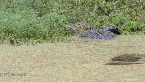 Shy Alligator