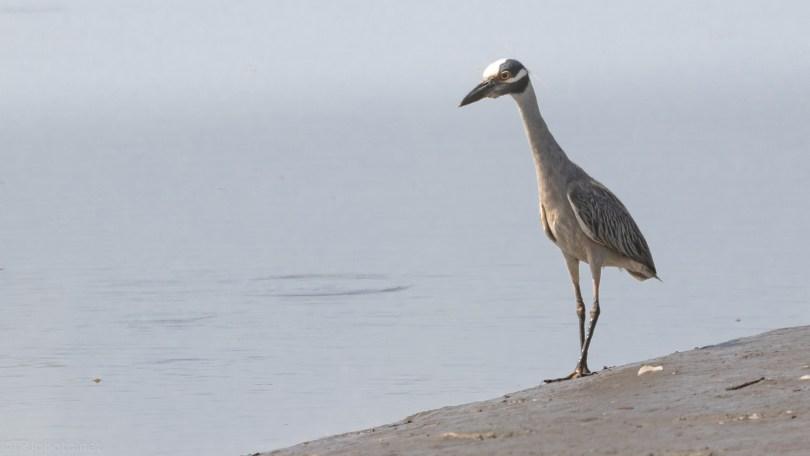 Yellow-crowned Night Heron, Salt Marsh