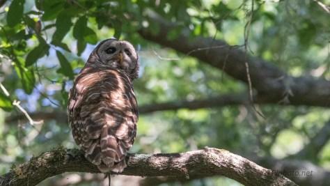 A Few Barred Owl Shots