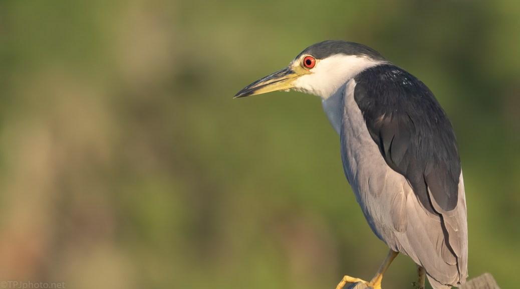Black-crowned