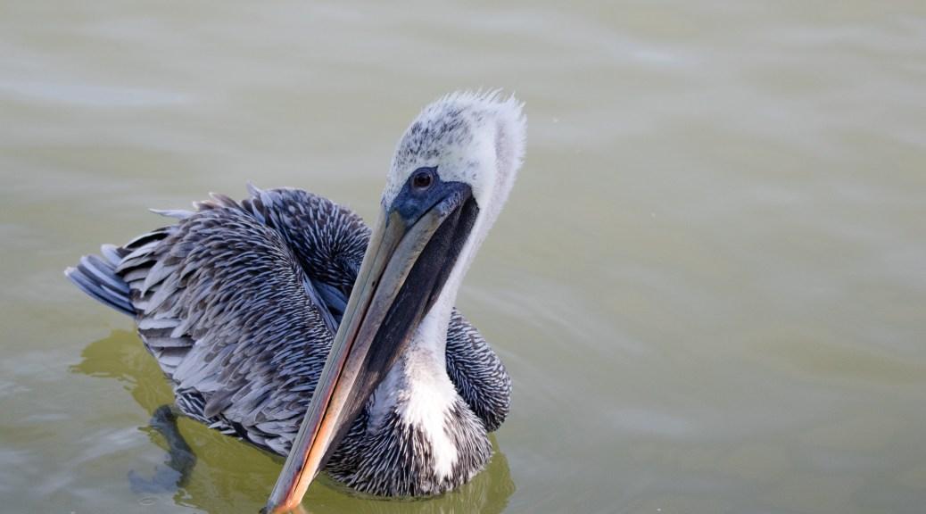 Flying Dinosaur, Pelican