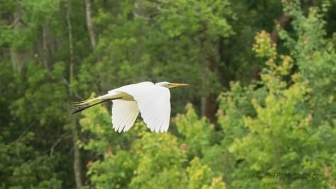 Elegant Flight, Egret