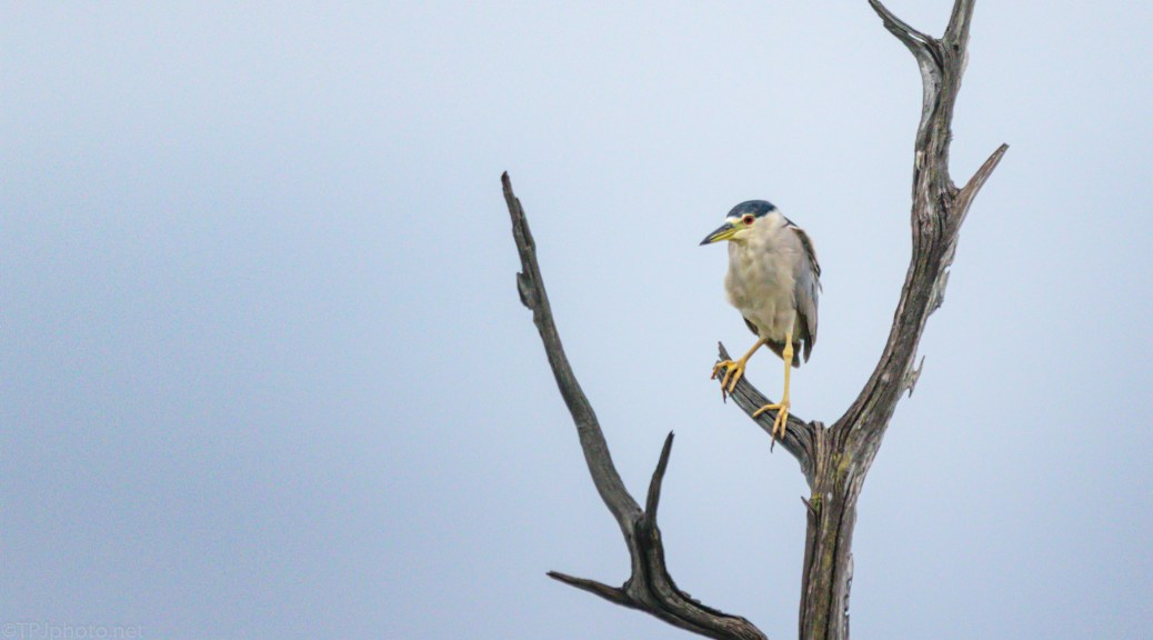 Salt Marsh Night Heron
