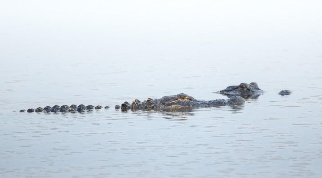 No Trouble, Alligator