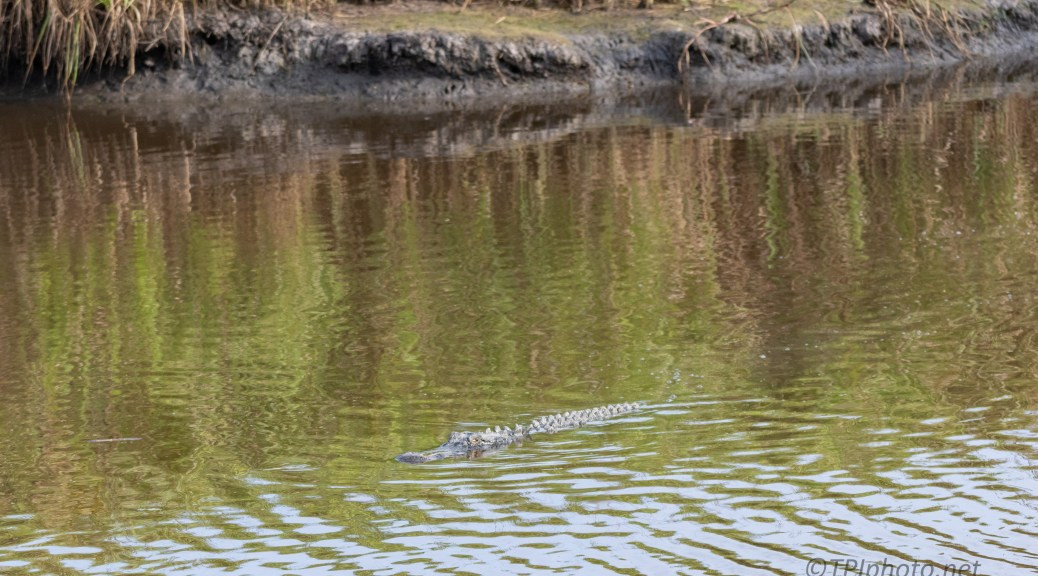 Coming To The Canal Bank, Alligator