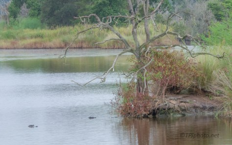 Marsh Scene, Complete With Gators