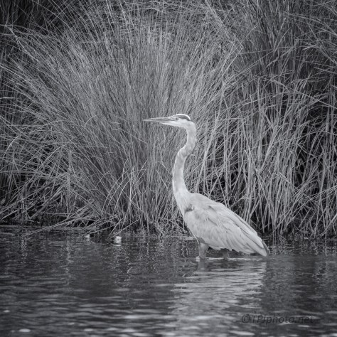 Great Blue, B&W