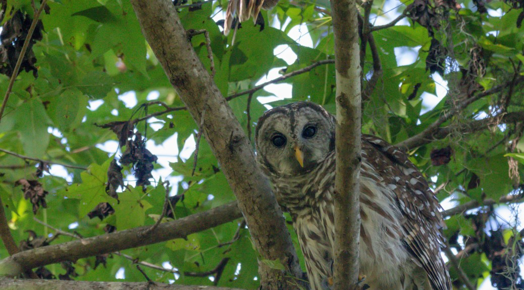 Back Near The Nests, Owl