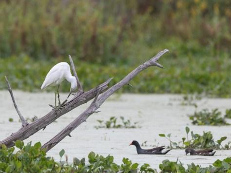 Hidden Marsh Pond, Young Little Blue