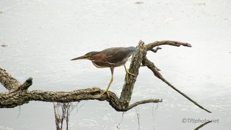 Hunting Green Heron