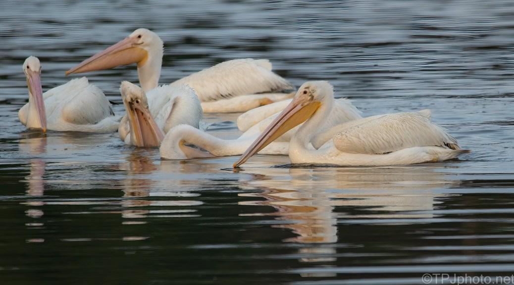 Fishing, White Pelican