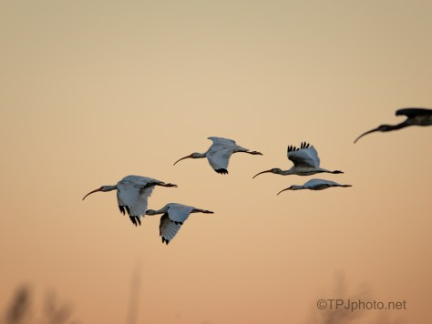 Dawn Fly By, Ibis