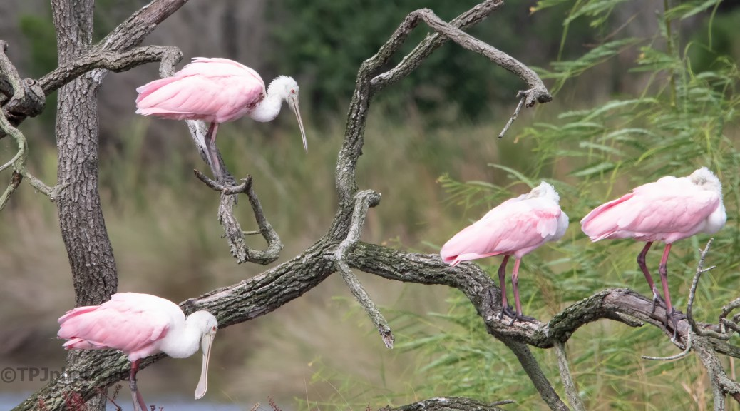Afternoon Nap, Roseate Spoonbill