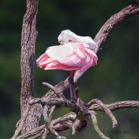 Another Spoonbill Dancer