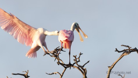 Spoonbill Surprise