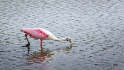 Full Breeding Adult Spoonbill