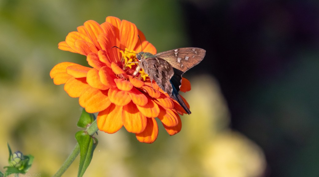Tiny Skipper