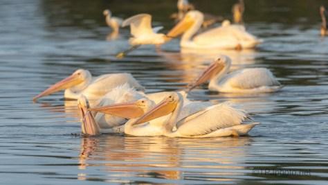 The Fishing Fleet, Pelicans