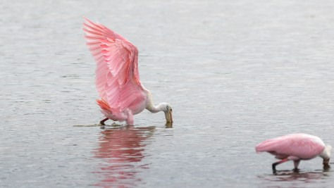 Spoonbill Making An Entrance