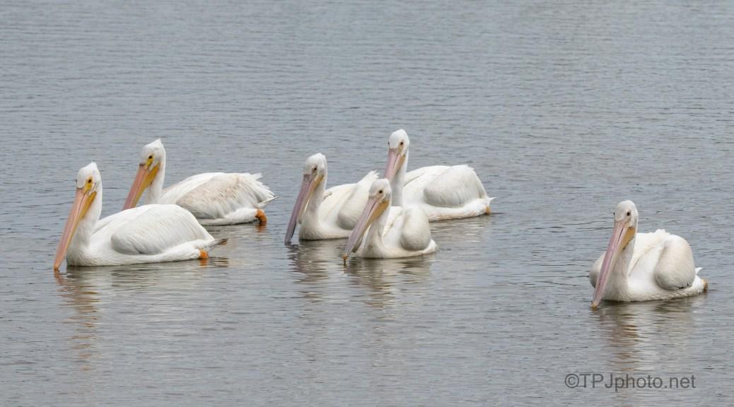 Curious Pelicans