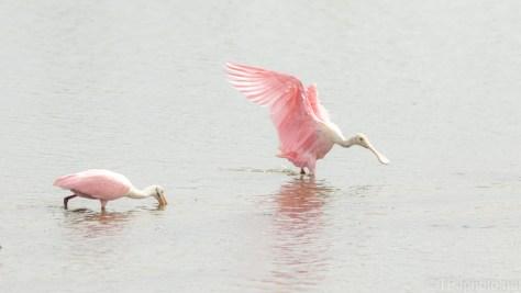 Catching A Landing, Spoonbill