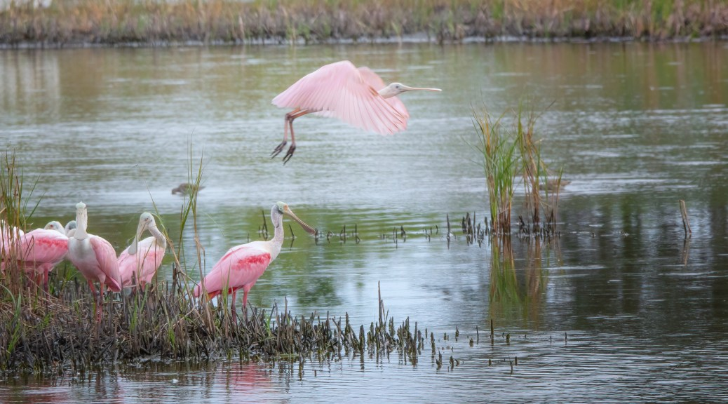 Quick Take Off, Spoonbill