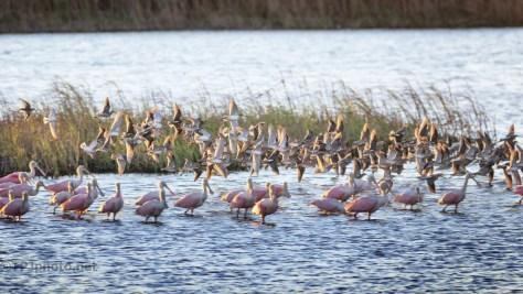 Godwit Flock Over Spoonbills