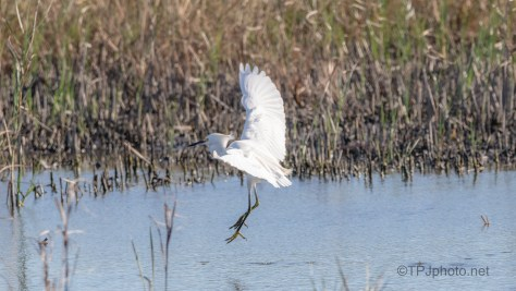 Slipped Right By, Snowy Egret